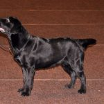 Labrador Retriever nero in piedi in esposizione