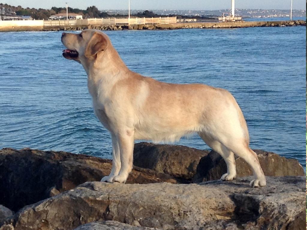 Labrador Retriever giallo con mare alle spalle