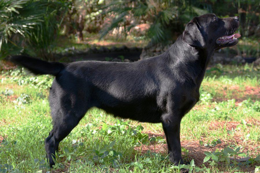 Labrador Retriever nero in piedi su prato