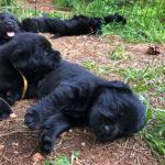 Black Labrador Retriever puppies