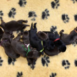 Chocolate and black Labrador litter