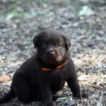 Chocolate Labrador puppy