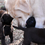 Black and chocolate Labrador puppies and yellow Labrador female