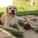Labrador Retriever giallo Cody a terra