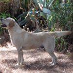 Labrador Retriever giallo Cody in piedi