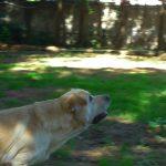 Labrador Retriever giallo Cody mentre gioca