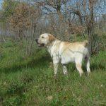 Labrador Retriever giallo Cody in piedi sul prato
