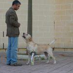 Labrador Retriever giallo Cody in esposizione a Malta