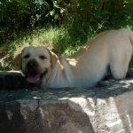 Primo piano di Labrador Retriever giallo Cody