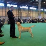 Labrador Retriever giallo Cody in piedi in esposizione al Crufts