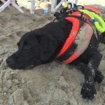 Labrador Retriever nero Doxy in spiaggia