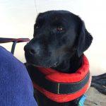 Primo piano di Labrador Retriever nero Doxy a mare