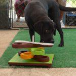 Labrador Retriever nero Doxy in training