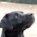 Primo piano di Labrador Retriever nero Doxy