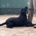 Labrador Retriever nero Doxy a terra