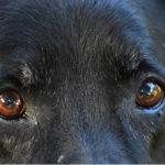 Primo piano di Labrador Retriever giallo