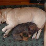 Labrador Retriever Rocheby giallo e Bassotto a pelo duro che dormono