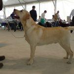 Labrador Retriever giallo in esposizione di Caltanissetta