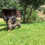 Labrador Retriever nero e Bassotto a pelo duro Lola su prato