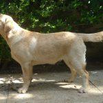 Labrador Retriever giallo Lois in piedi