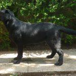 Labrador Retriever nero Moneypenny in piedi