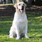 Labrador Retriever giallo seduto sul prato