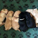 Cuccioli di Labrador Retriever nero e giallo che dormono