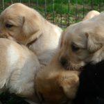 Cuccioli di Labrador Retriever nero e giallo che mangiano