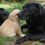 Gruppo di cuccioli di Labrador Retriever giallo e nero con adulto sul prato
