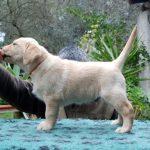 Cucciolo di Labrador Retriever giallo su tavolino