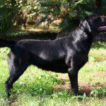 Labrador Retriever nero in piedi sul prato