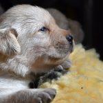 Primo paino Primo piano di cucciolo di Labrador Retriever giallo