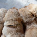 Cuccioli di Labrador Retriever giallo che dormono