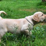 Cucciolo di Labrador Retriever giallo sul prato