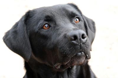 Immagine madre cucciolata 1 Labrador Retriever nero
