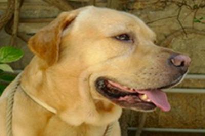 Immagine padre cucciolata 2 Labrador Retriever giallo