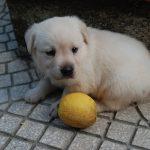 Cucciolo di Labrador Retriever giallo che gioca