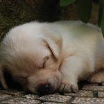 Primo piano di cucciolo di Labrador Retriever giallo che dorme
