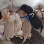 Cuccioli di Labrador Retriever nero e giallo che allattano
