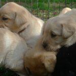 Cuccioli di Labrador Retriever nero e giallo