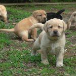 Gruppo di cuccioli di Labrador Retriever nero e giallo sul prato