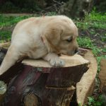 Cucciolo di Labrador Retriever giallo su un tronco