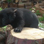 Cucciolo di Labrador Retriever nero su un tronco