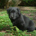 Cucciolo di Labrador Retriever nero sull'erba