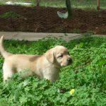 Cucciolo di Labrador Retriever giallo sull'erba