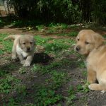 Cuccioli di Labrador Retriever giallo sul prato
