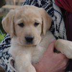 Primo piano di cucciolo di Labrador Retriever giallo in braccio