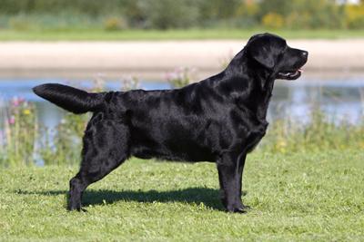 Immagine padre cucciolata 4 Labrador Retriever nero