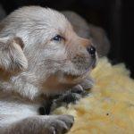Primo piano di cucciolo di Labrador Retriever giallo