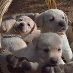 Cuccioli di Labrador Retriever giallo in una cesta